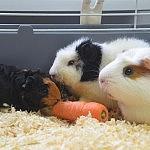 baby meerschweinchen 150x150 Toller Sonntag – ein echter Sonntag # 62